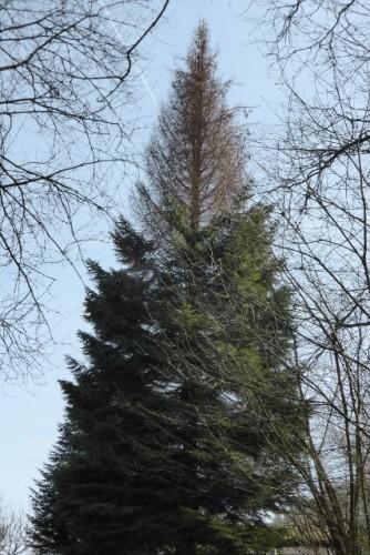 An dieser Tanne sieht man, wie der Wassermangel letzten Sommer zum Vertrocknen der Spitze geführt hat. Ob der Baum sich wieder erholen kann, muss man abwarten.